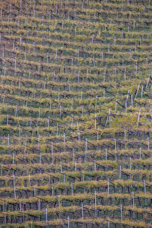 Vineyard in South Tyrol in Autumn