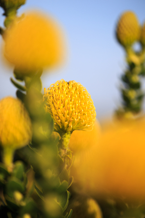 Yellow Protea Stock Photo