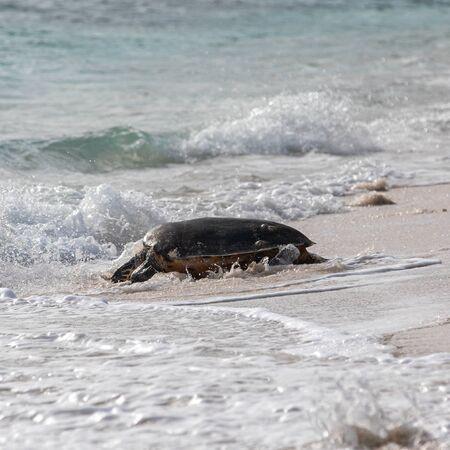 Hawksbill Turtle on the Beach, Seychelles Stock Photo