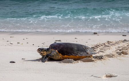Hawksbill Turtle on the Beach, Seychelles Imagens