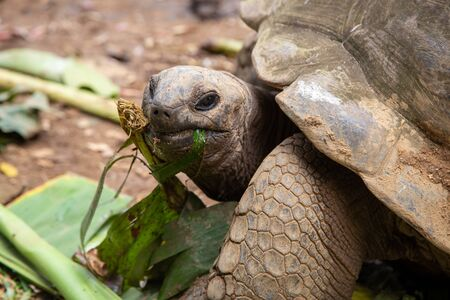 Aldabra giant tortoise on the Seychelles