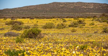 Wild Flowers at the Cederberg Mountains, Western Cape