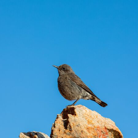Ant-eating cha, Southern anteater chat, Western Cape