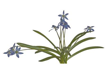 Eine zarte Fr�hjahr Blume auf wei�en Hintergrund.
