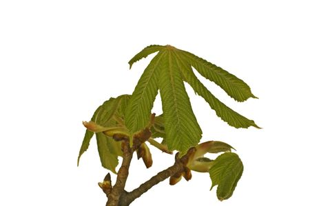 young leaves of Horse Chestnuts isolated on white background