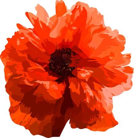 poppy(3).jpg Stock Photo