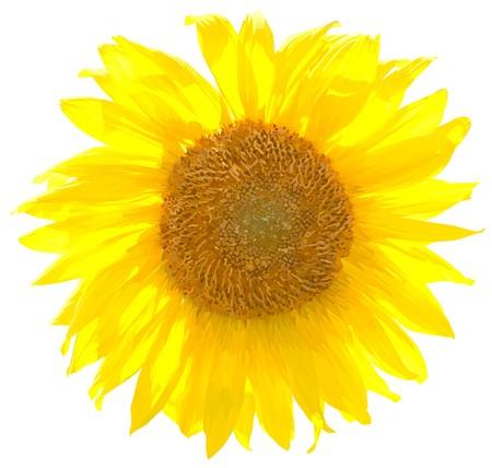 sunflower8 (21) .jpg