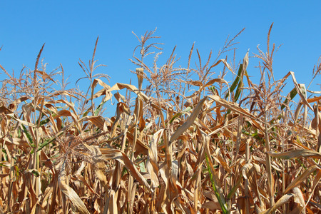Dry autumn corn on the field under the blue sky photo