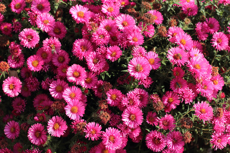 Many pink asters with bees Archivio Fotografico