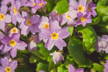 violet flower: Violet flower. Primula