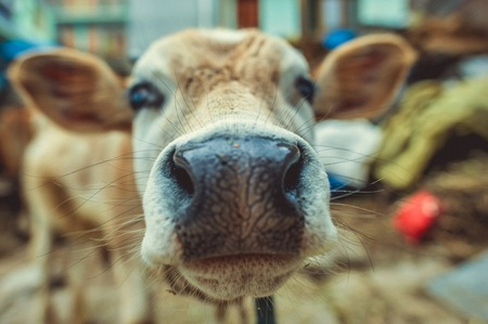 The nose and the muzzle of a brown calf Stock Photo