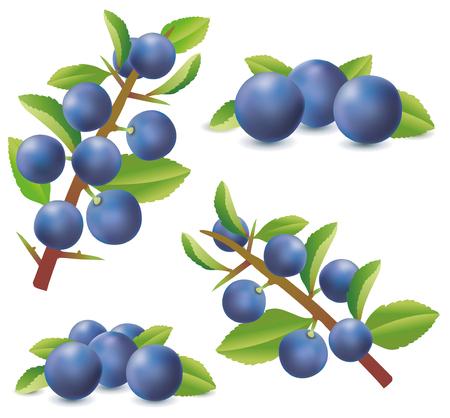 Gruppo di bacche di prugnolo o del prugnolo isolate su fondo bianco