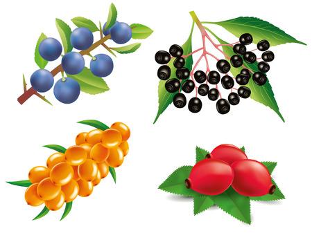 Group of sea buckthorn, rose hip, black elderberry, blackthorn Illustration