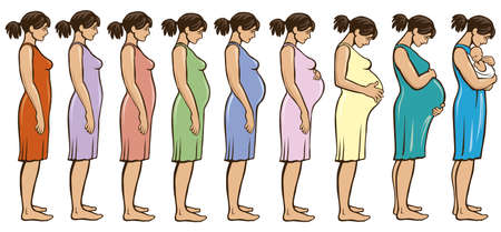 the main stages of pregnancy. Changes in the female body during pregnancy month after month 矢量图像