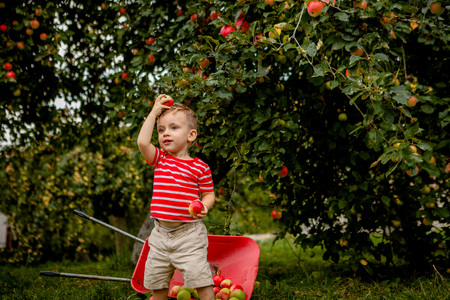 Child picking apples on a farm. Little boy playing in apple tree orchard. Kid pick fruit and put them in a wheelbarrow. Baby eating healthy fruits at fall harvest. Outdoor fun for children. Stock Photo