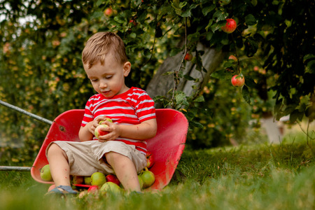 Child picking apples on a farm. Little boy playing in apple tree orchard. Kid pick fruit and put them in a wheelbarrow. Baby eating healthy fruits at fall harvest. Outdoor fun for children. Stock fotó