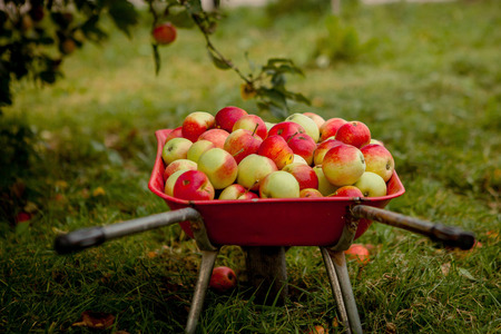 Wheelbarrow with apples, autumn concept. Apples in a wheelbarrow. 스톡 콘텐츠