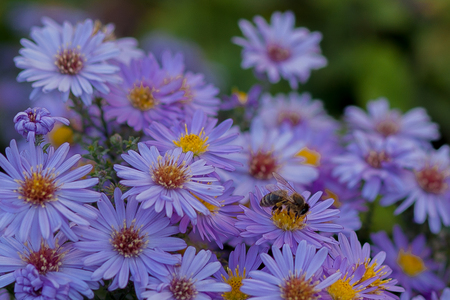 Small purple daisies - Erigeron. Garden flowers natural summer background. On a flower the bee collects the nectar. Standard-Bild