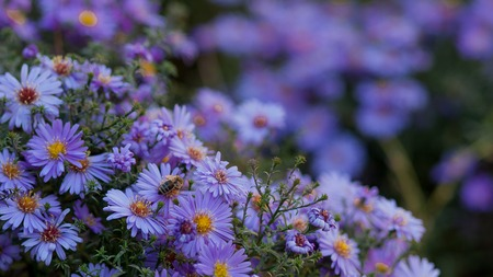 Small purple daisies - Erigeron. Garden flowers natural summer background. On a flower the bee collects the nectar. Stockfoto