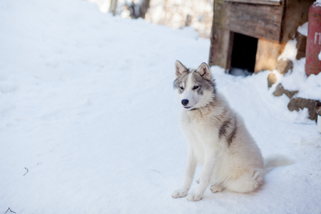 Husky dog grey and white colour with blue eyes in winter