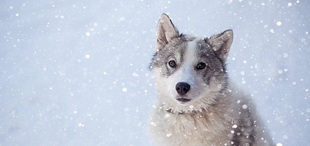 Husky dog grey and white colour with blue eyes in winter. 版權商用圖片