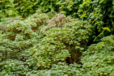 Full Frame Shot Of Ground Ivy, Textured background.