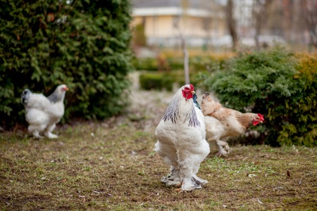 Grown healthy white hens on green grass outside in rural yard on old wooden barn wall background spring on bright sunny day. Chicken farming, healthy meat and eggs production concept.
