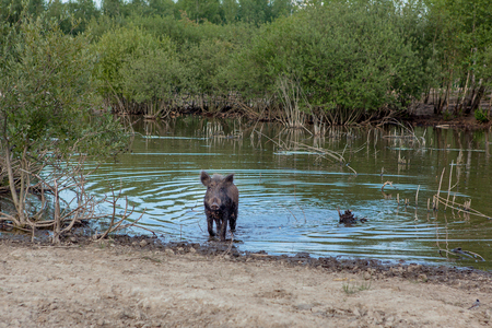 Wild pig cooling down in swamp on hot summer day.