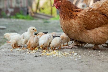 Nahaufnahme von gelben Küken auf dem Boden, schöne gelbe kleine Hühner, Gruppe gelber Küken.