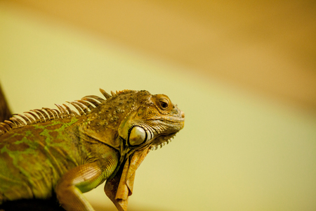 Green iguana, also known as American iguana, is a large, arboreal, lizard. Found in captivity as a pet due to its calm disposition and bright colors. Exotic Pet Care, Wildlife, Animal.
