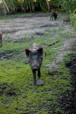 Family Group of Wart Hogs Grazing Eating Grass Food Together Stock Photo