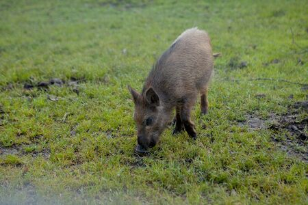 Wild small pig contentedly grazing on grass. Stock Photo