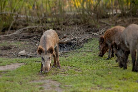 Family Group of Wart Hogs Grazing Eating Grass Food Together Zdjęcie Seryjne