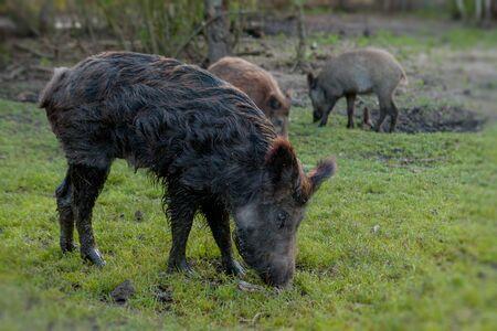 Wild small pig contentedly grazing on grass. 免版税图像