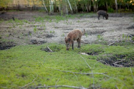 Family Group of Wart Hogs Grazing Eating Grass Food Together Imagens