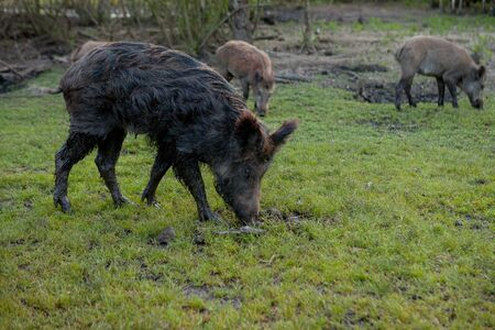 Family Group of Wart Hogs Grazing Eating Grass Food Together Banco de Imagens