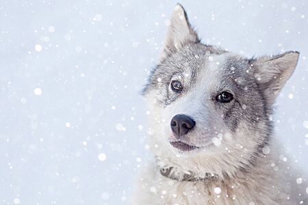 Husky dog grey and white colour with blue eyes in winter. 写真素材