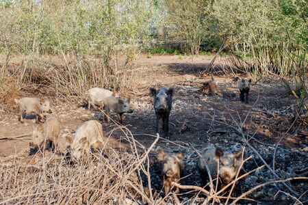 Wild boars looking for food in summer time.