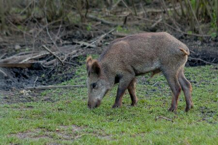 Wild small pig contentedly grazing on grass.