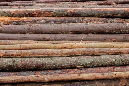 Wooden logs of pine woods in the forest, stacked in a pile. Freshly chopped tree logs stacked up on top of each other in a pile