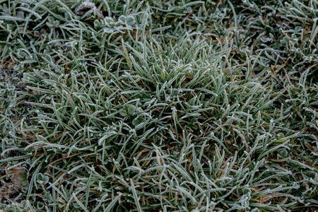 Close up of frozen grass blades as green natural background. Shallow DOF.