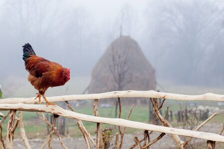 Red Chicken Standing on Wooden Picket Fence with Coop in Background.