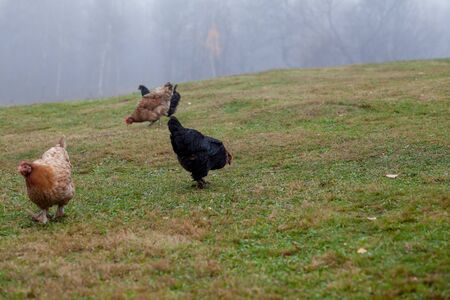 Rooster and chickens grazing on the grass.