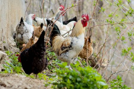 A flock of chickens roam freely in a lush green paddock.