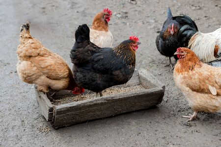 A group of free range chickens eating outside on a farm.