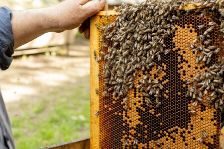 Apiculture beekeeping beekeeper works with bees near hives taking out frames with honeycombs for inspection.