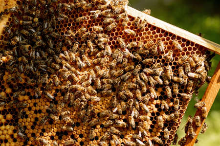 closeup of bees on honeycomb in apiary - selective focus, copy space Reklamní fotografie