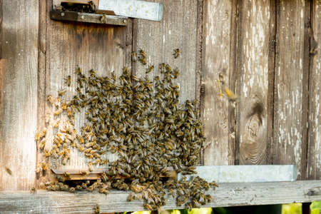 A lot of bees returning to bee hive and entering beehive with collected floral nectar and flower pollen. Swarm of bees collecting nectar from flowers. Healthy organic farm honey Imagens