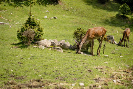 Deers grazing on meadow. Deer herd meadow grazing. Deer herd on deer farm. New born roe deer, wild spring nature