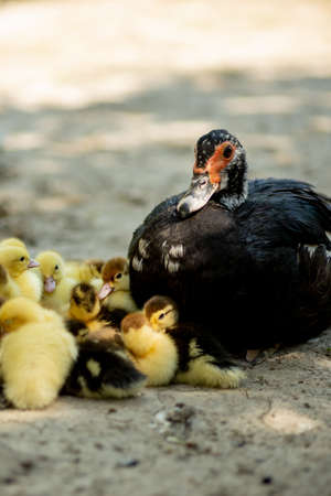 Mother duck with her ducklings. There are many ducklings following the mother Archivio Fotografico